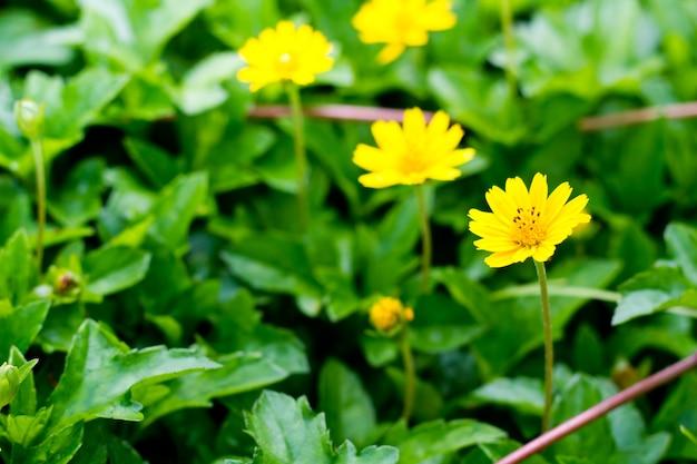 黄色の花粉と庭の小さな黄色の花。