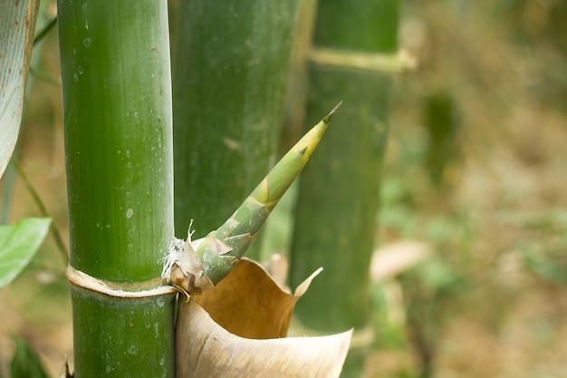 Бамбуковые деревья.