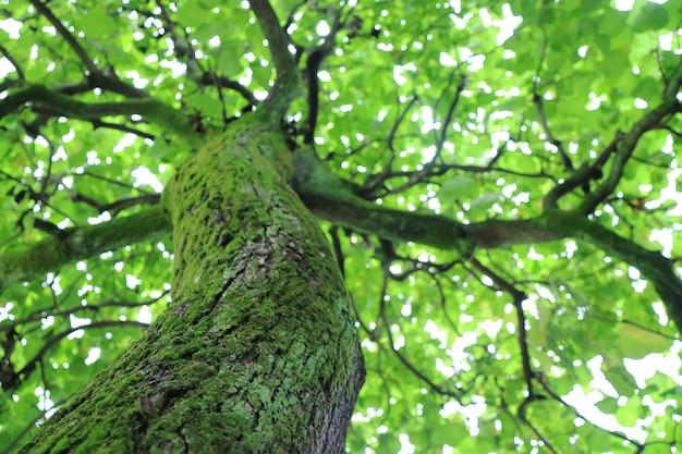 樹皮に緑の苔と春の緑の葉の背景を持つ大きな木。