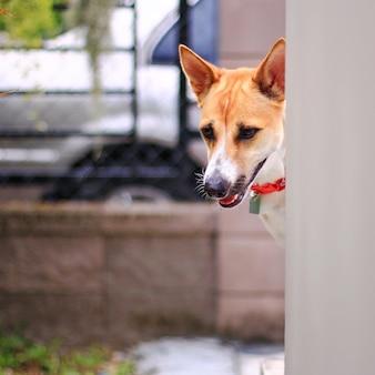 かわいい茶色と白い犬が家の壁から出て見えて懐疑的に見える