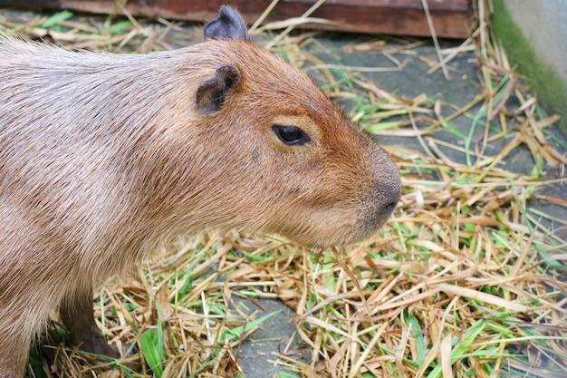 農場で新鮮で乾いた草を食べるかわいいカピバラ。動物のコンセプト