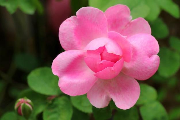 美しいピンクのバラ、ハート形の花びらを持つ椿の花。