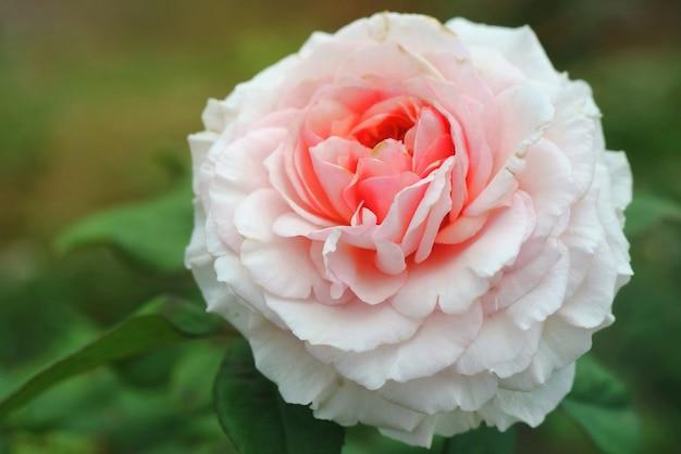朝の日差しで美しいピンクのバラ