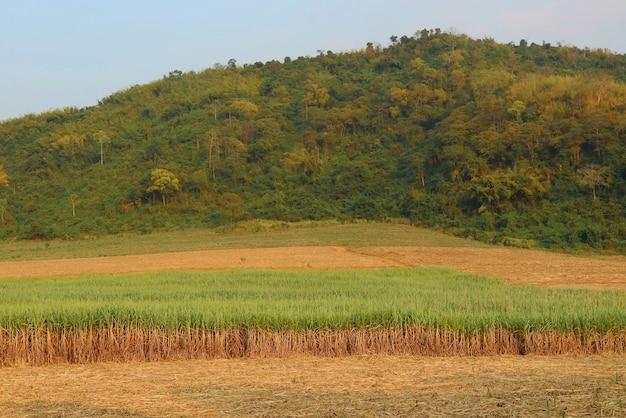 山を背景に杖フィールドのサトウキビ。自然と農業のコンセプト