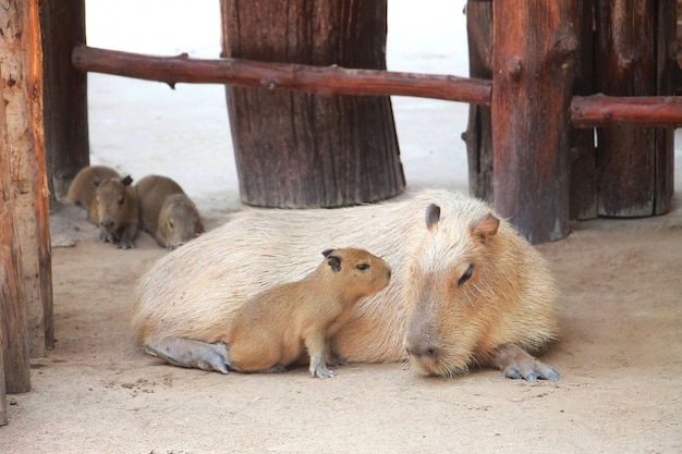 かわいいカピバラは赤ちゃんと一緒に農場で横になっています。動物と母の日の概念。