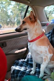 かわいい白と黄色の尾根のソフトフォーカスは、車の中を旅行中に赤で犬のネクタイをストラップします。