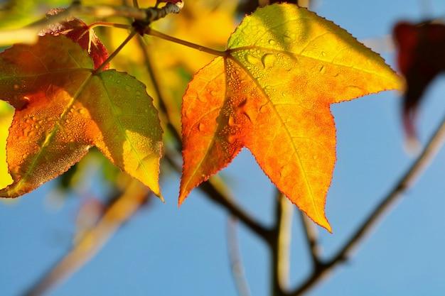 Закройте вверх по оранжевому и красному кленовому листу с красочными листьями и голубым небом в осени.