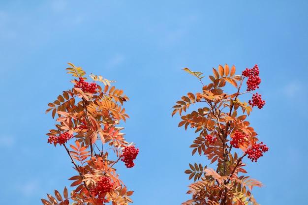 Букет из красной рябины с красными ягодами и разноцветные листья осенью.