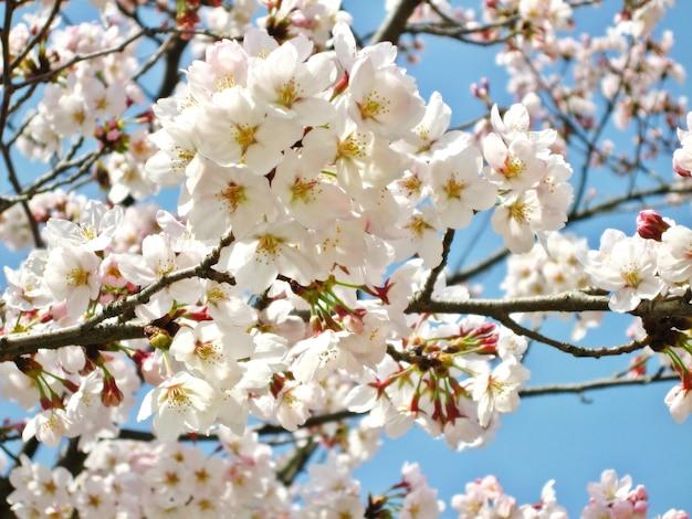 日本の春に咲く桜または桜の花のソフトフォーカス、澄んだ青い空と満開。