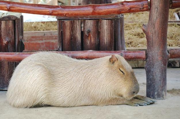 かわいいカピバラが農場に横たわっています。動物の概念。