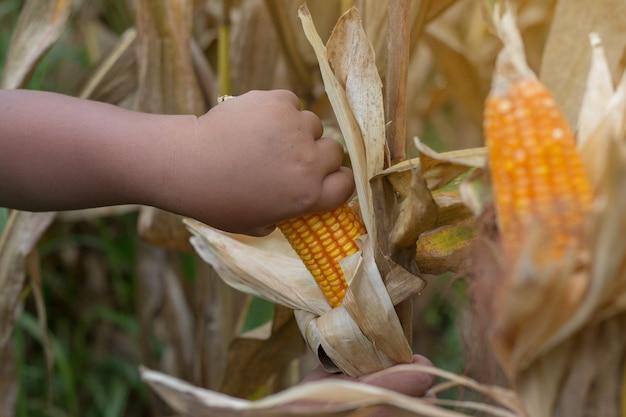 Бедный азиатский мальчик проверяет и собирает кукурузу на кукурузном поле в юго-восточной азии