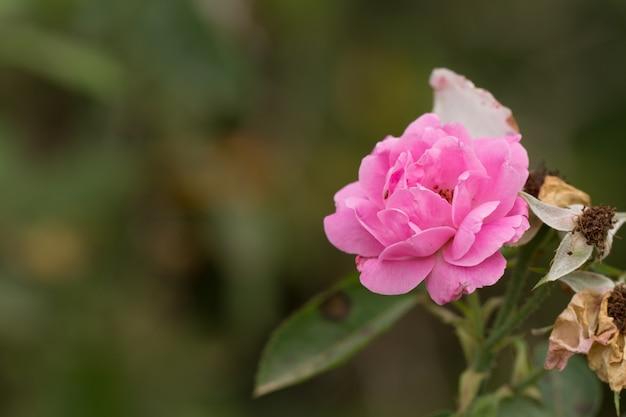 Розовая роза в саду