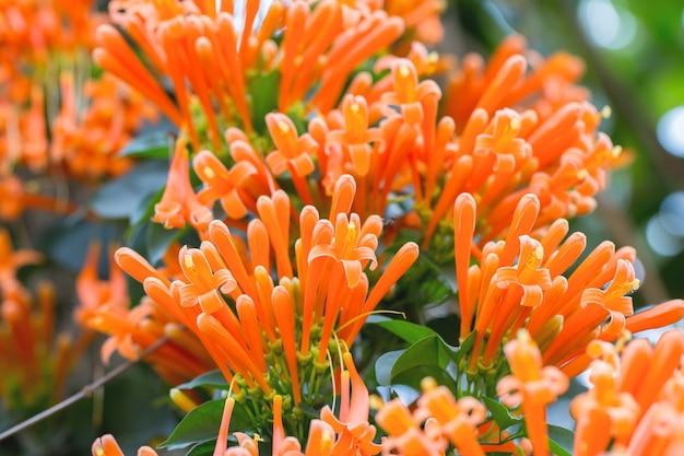 咲くオレンジのトランペットの花や、自然の緑の背景を持つ火のクラッカーのブドウ