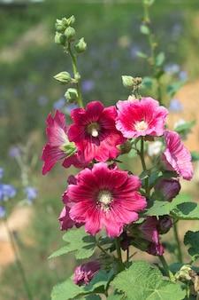 Холлихокс, цветущий в саду