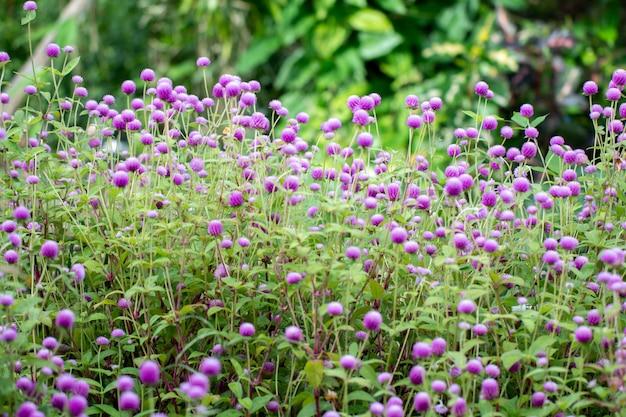 Глобус амарант цветы с зеленым естественным фоном