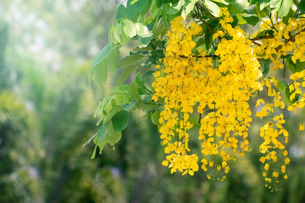Цветки фистулы кассии или цветок золотого ливня с копией пространства на фоне природы