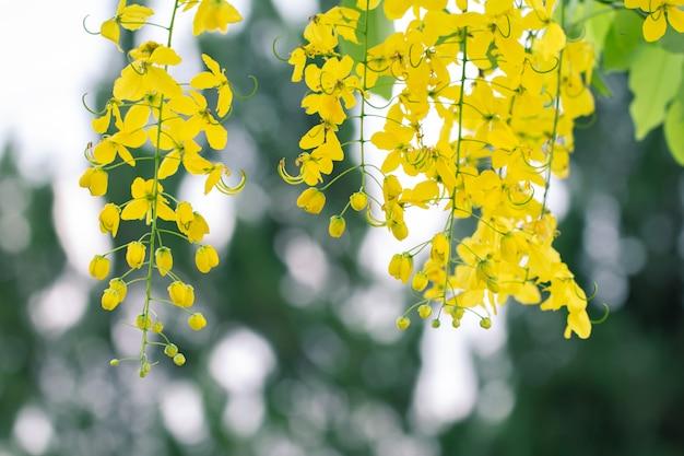 カシア瘻花や自然の背景のコピースペースとゴールデンシャワーの花