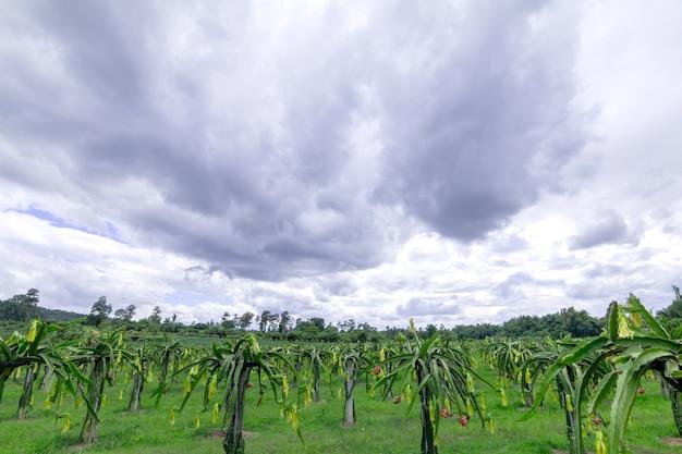 ドラゴンフルーツフィールドまたはピタハヤフィールドの風景。