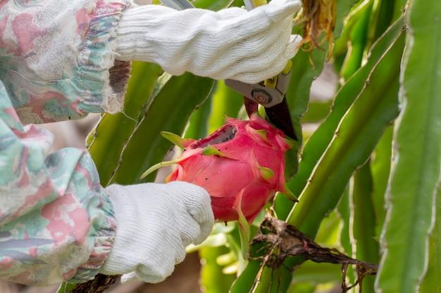 庭のドラゴンフルーツの病気のクローズアップ