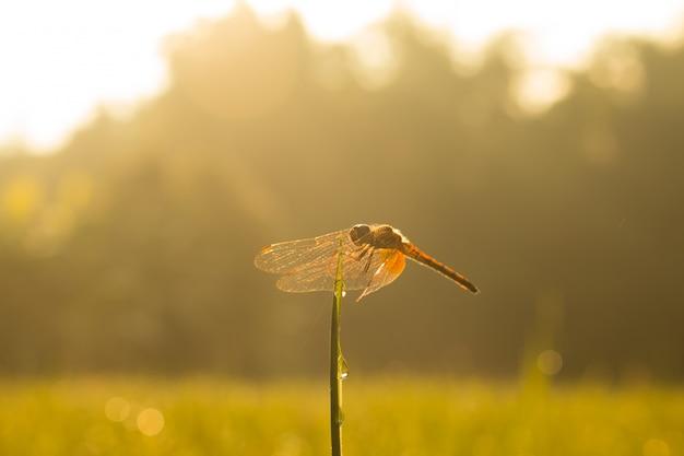 小さな美しいトンボのクローズアップ、彼らは自然の中で最高の蚊のキラーです