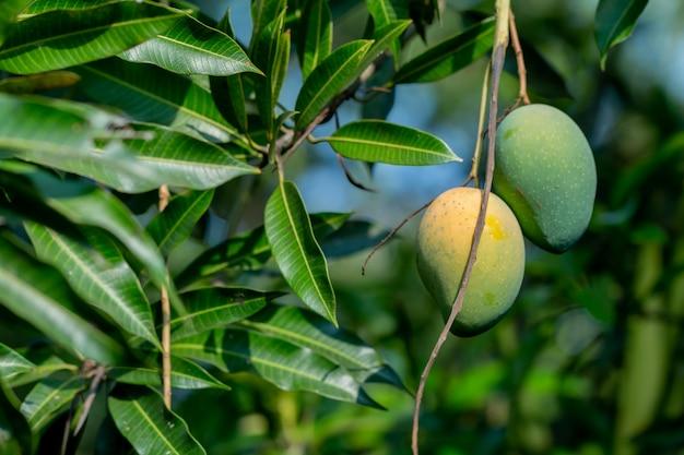 Свежие сырые и спелые манго на дереве, летние фрукты на дереве