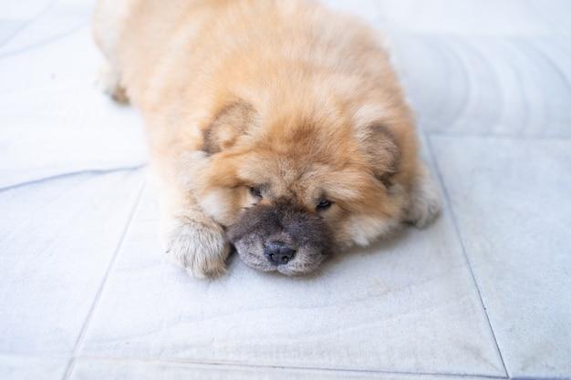 小型犬子犬ペット、かわいい小さなチャウチャウ