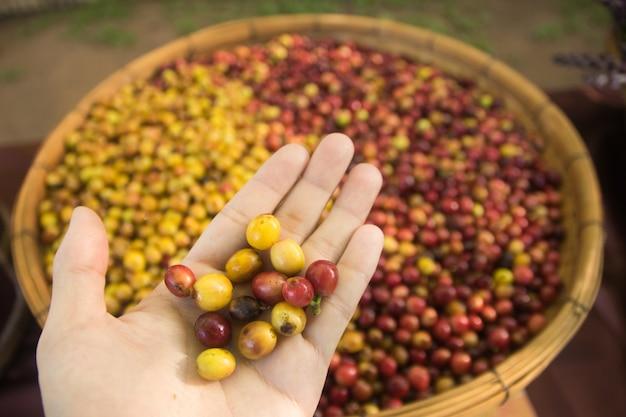 手元の新鮮なコーヒー豆。コーヒー豆の背景。自然