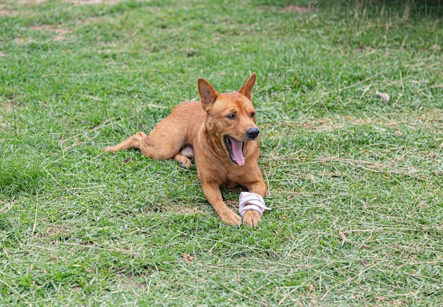 包帯で負傷した脚を持つ茶色の犬
