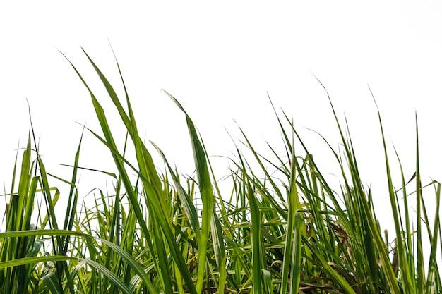 サトウキビの葉と白い背景で隔離