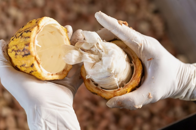 中に豆が入った熟したココアの果実を持つ男。
