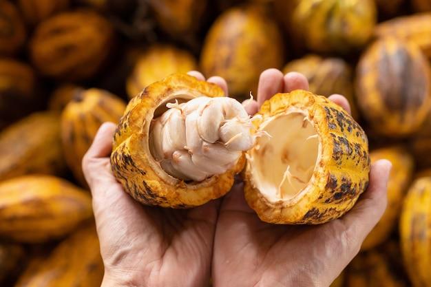 豆の中に熟したココアの果実を手で保持している男。
