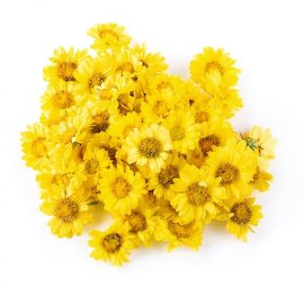 白い背景上に分離されて黄色の菊の花