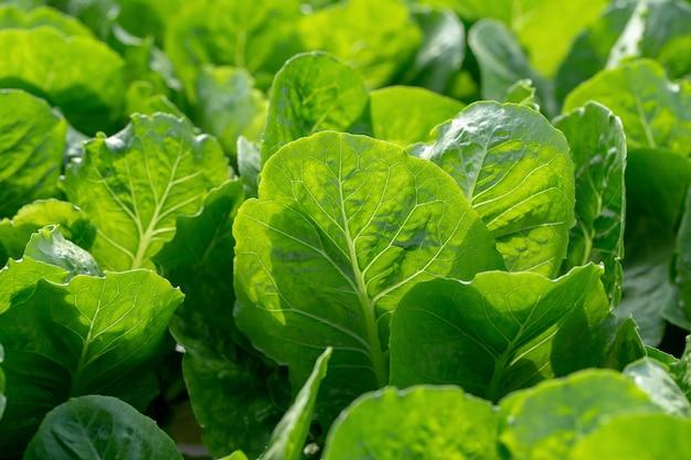新鮮なレタスの葉、サラダ野菜水耕栽培農場