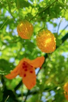 Горькая дыня, горькая тыква или горькие тыквы висят растения на ферме