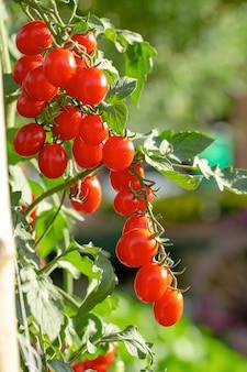 熟した赤いトマトは庭のトマトの木にぶら下がっています。