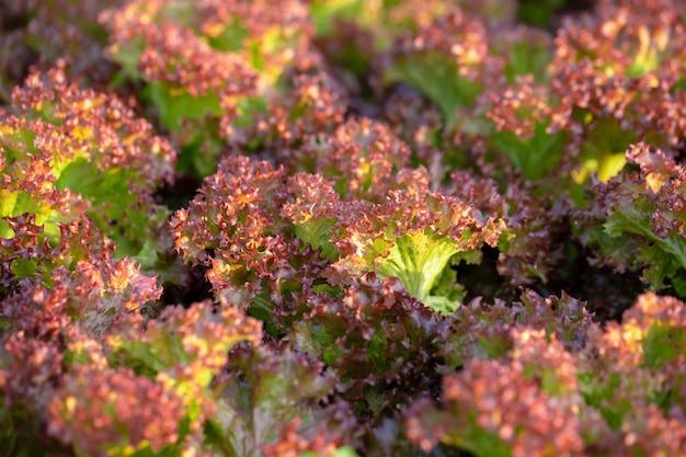 新鮮なレッドオークのレタスの葉、サラダ野菜水耕栽培農場