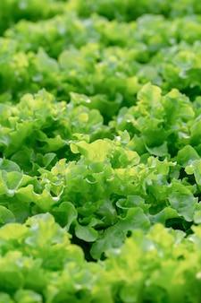 新鮮なグリーンオークのレタスの葉、サラダ野菜水耕栽培農場