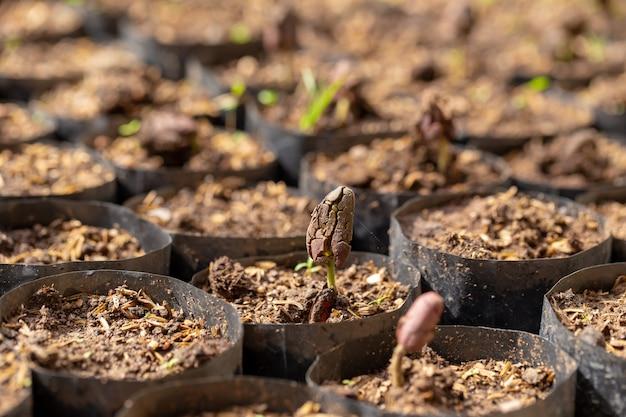 ココアの木は農場で新しく成長しています