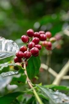 新鮮なアラビカコーヒー豆、タイ北部の木で熟成