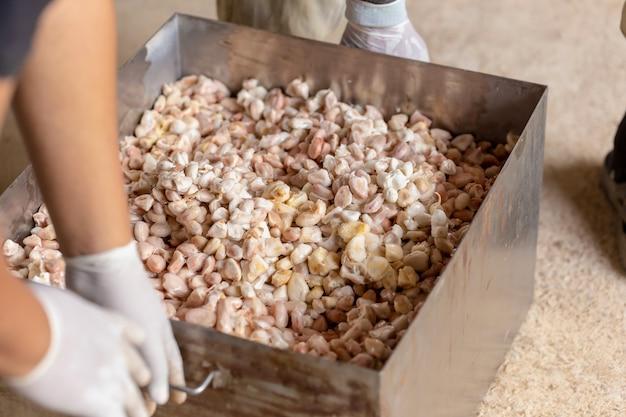 熟したココアフルーツの中の豆と鞘から種を取り出す男