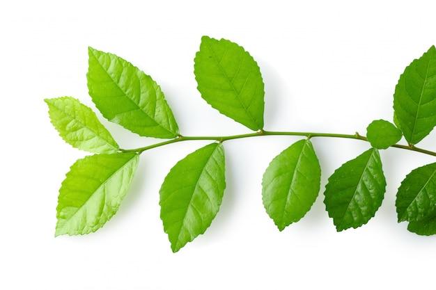 Зеленые листья изолированы