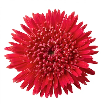 Барбертон, ромашка, цветок герберы