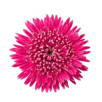 バーバートンデイジー、ガーベラデイジーの花の分離