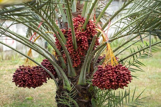 ナツメヤシの木にナツメヤシの果実。タイ北部で栽培