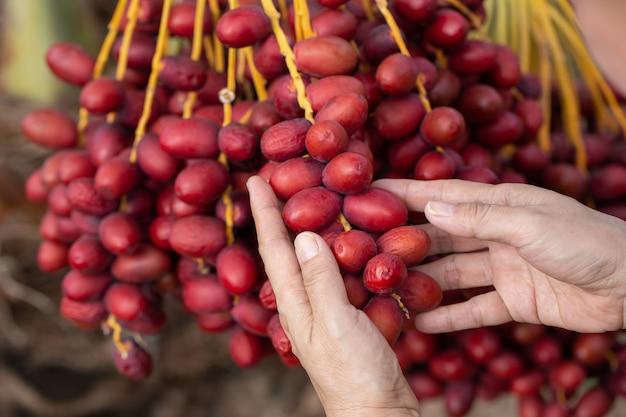 Плоды финиковой пальмы на дереве финиковой пальмы. выращен на севере таиланда