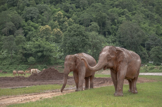 Азиатский слон в природе на природном парке слона, чиангмае. таиланд.