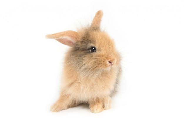 白地に茶色のかわいい赤ちゃんウサギ