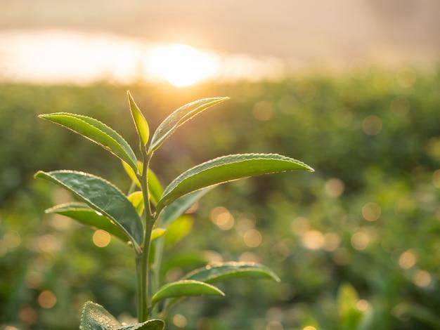 朝の日差しで農園で茶葉を閉じます。