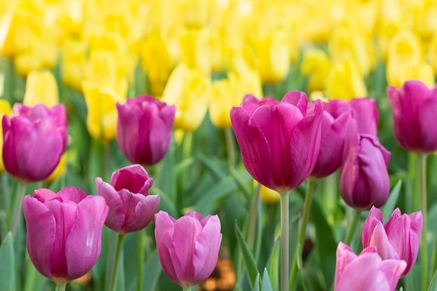 春の日のピンクと黄色のチューリップのフィールド。春に咲く花の庭で色とりどりのチューリップの花。