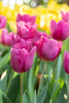 自然なぼかしと春の日のピンクと黄色のチューリップのフィールド。春に咲く花の庭で色とりどりのチューリップの花。